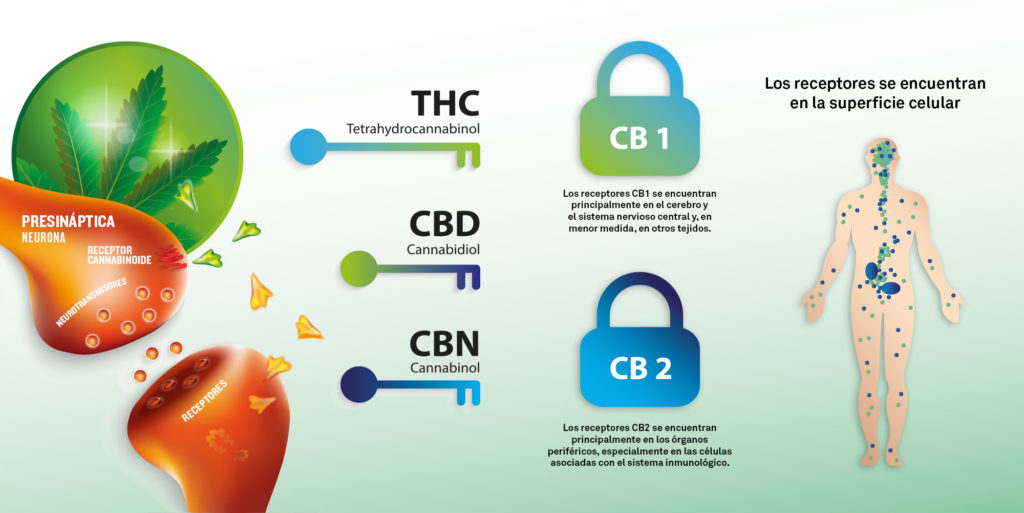 Qué es el sistema endocannabinoide y por qué es tan importante